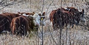 cold_livestock
