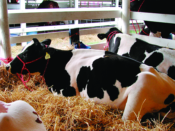 cows_at_fair