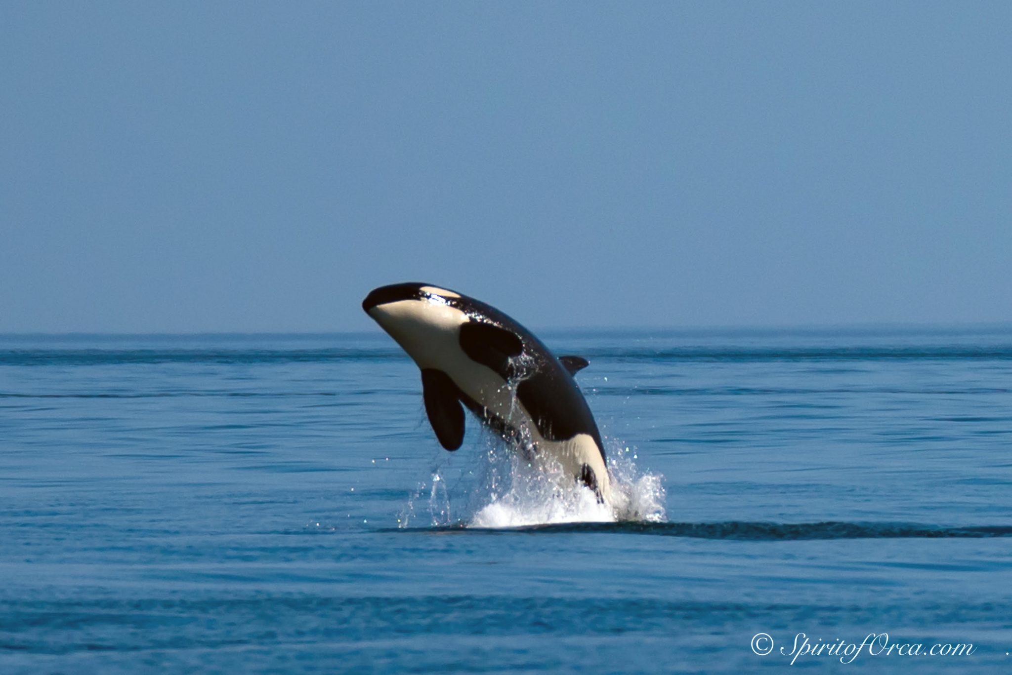 Lawmakers scramble to save Puget Sound orcas
